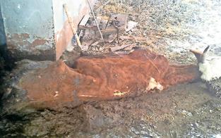 Tote Kühe sind jetzt Fall für's Gericht