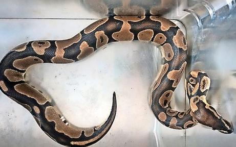 Schlangen-Alarm im Kindergarten: Python entdeckt