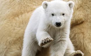 Das ist Finja: Die schönsten Fotos vom Eisbär-Baby