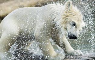 Kurze Corona-Pause: So süß planscht das Eisbär-Baby in Schönbrunn