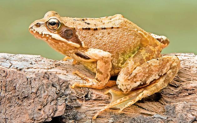 1280px-European_Common_Frog.jpg