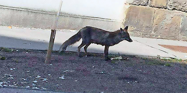Fuchs Ottakring