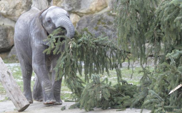 Elefanten bekamen Christbaum-Frühstück