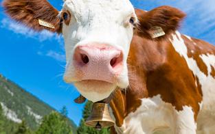 Tiroler Bauer von Mutterkuh attackiert