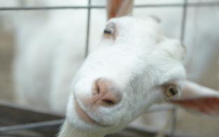 So helfen Ziegen & Alpakas gegen Depressionen