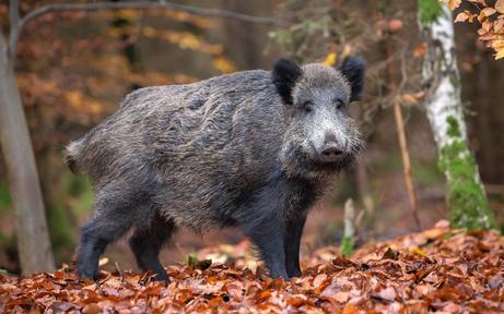 Pröll fordert Nachtjagd auf Wildschweine