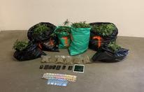 Niederösterreich: Cannabisplantage in Hollabrunn aufgehoben