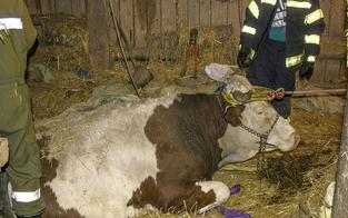 Kuh brach durch den Stallboden