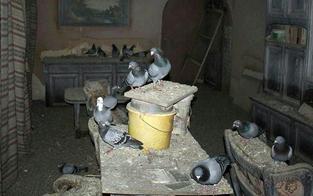 """""""Animal Hoarding"""": Mann wohnt mit 200 Tauben"""