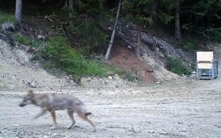 Grauwolf Fritzi tappte bisher nur in Fotofalle