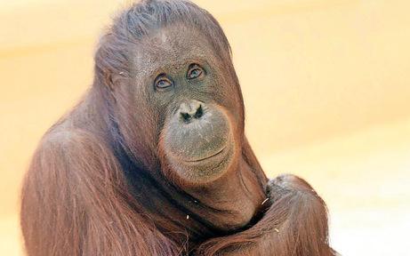 Orang-Utan-Baby kam tot auf die Welt