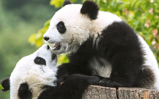 Wiens Pandas feiern ihren 1. Geburtstag