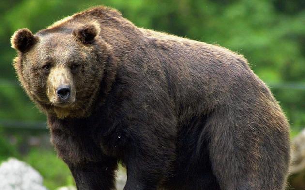 Braunbär Bär