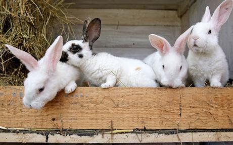 AHS-Lehrer schlachtet Kaninchen vor Schülern