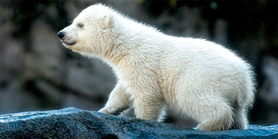 Eisbären-Baby Schönbrunn Eisbär Baby