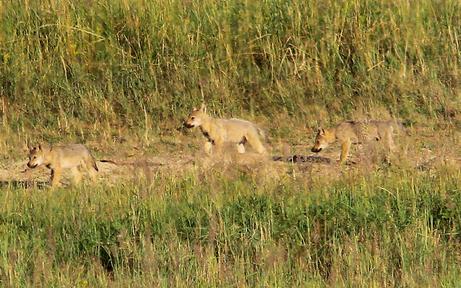 Nachwuchs: Sechs Wolfsjunge im Waldviertel