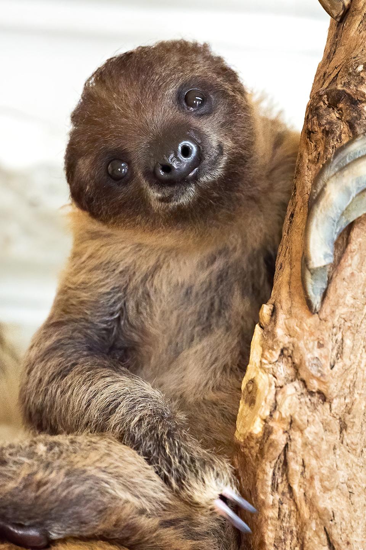Lockdown-Baby: Faultier-Nachwuchs im Tiergarten Schönbrunn