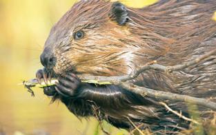 Biber-Alarm: Nager fällen täglich Dutzende Bäume