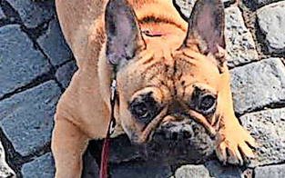 1.000 Euro Finderlohn für Bulldogge