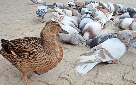 Frau (53) hortete fünf Enten und 30 Tauben