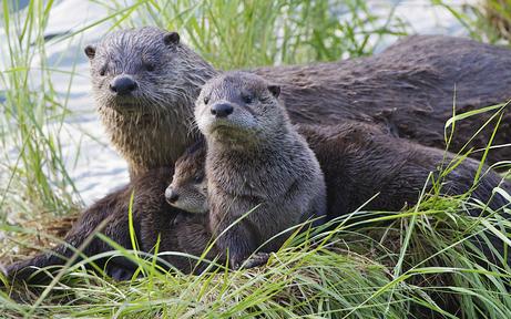 Kärnten: Fischotter-Bestand wird ermittelt