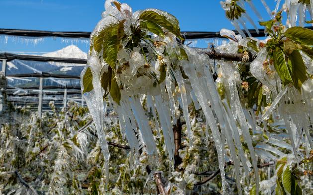 Frost Kirschblüte