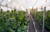 Cannabisplantage ausgehoben