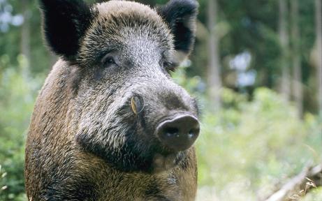 Wildschwein-Attacke auf Jäger bei Treibjagd