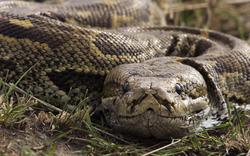 45-Jähriger hielt 110 Pythons in Wohnung