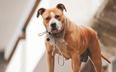 Kampfhund biss Frauen ins Spital
