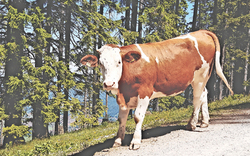 Wild gewordene Kuh attackierte in Tirol mehrere Personen