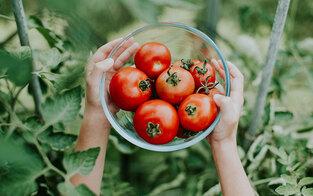 Schmecken gekühlte Tomaten anders?
