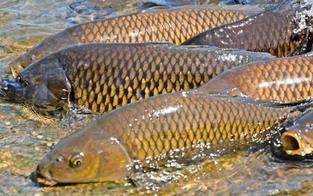 Rätsel um Fischsterben im sauberen Viehofner See