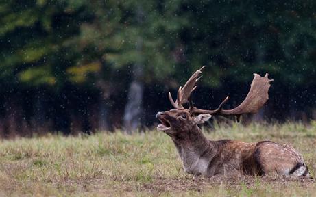 Wilderer lässt Hirsch qualvoll verenden