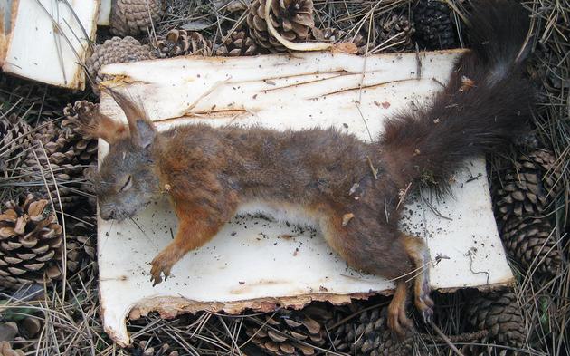 Eichhörnchen Schrebergarten Penzing
