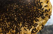Tausende Bienen werden per Gesetz ausgerottet