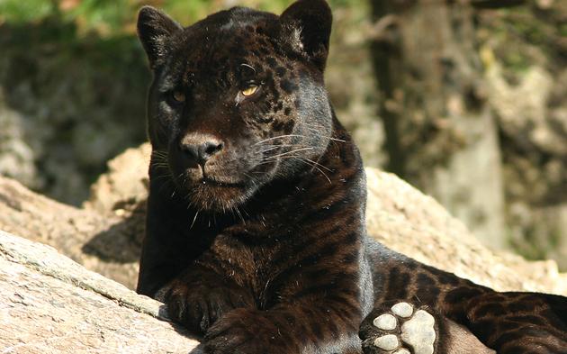 Jaguar Bonita