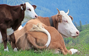 Tödliche-Kuh-Attacke: Witwer will 360.000 Euro