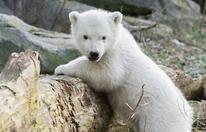 Wiener Eisbären-Baby ist ein Weibchen
