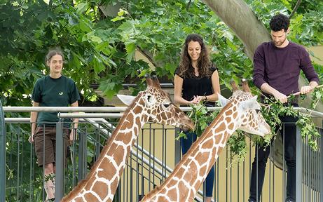 Zoo-Besucher können jetzt eigene Giraffen-Fütterung buchen