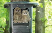 Süße Käuze aus dem Tiergarten Schönbrunn werden ausgewildert