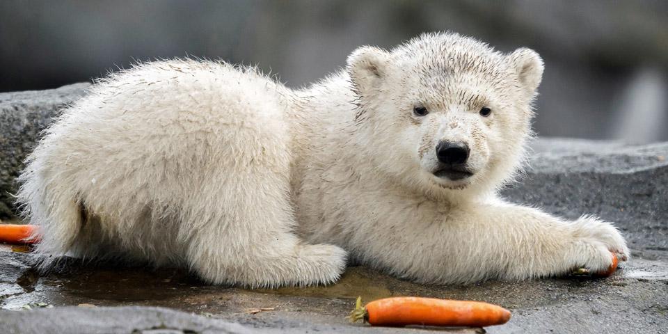Eisbärenbaby