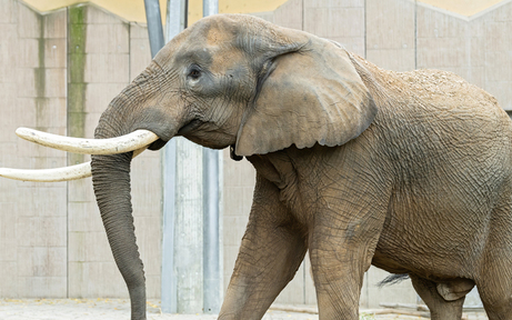 Zoo Schönbrunn bekommt jetzt Elefanten-Bullen