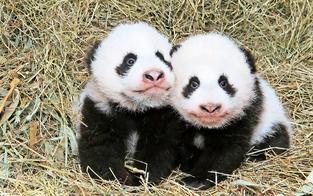 Pandazwillinge haben offizielle Namen erhalten