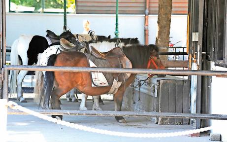 Ab morgen müssen die Prater-Ponys auf die Reitbahn