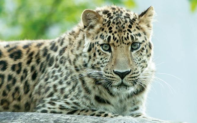 Blind Date für Wiener Leopardin