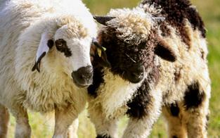 Überforderter Landwirt ließ 23 Schafe verhungern