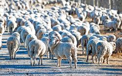 Tierquäler sperrten Herde ein: 18 Schafe tot