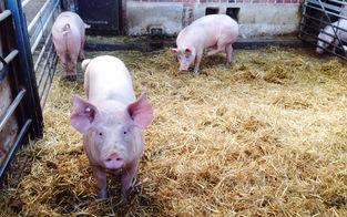 Verdacht: Tiere in Schlachthof gequält
