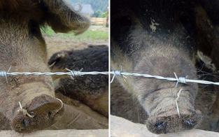 Kärntner Bauer zog Schweinen Draht durch die Nase